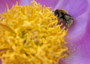 A bee in a sea of pollen